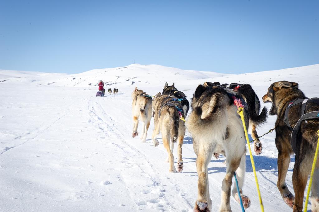 Hundekjøringshelg på Halne - 20 km