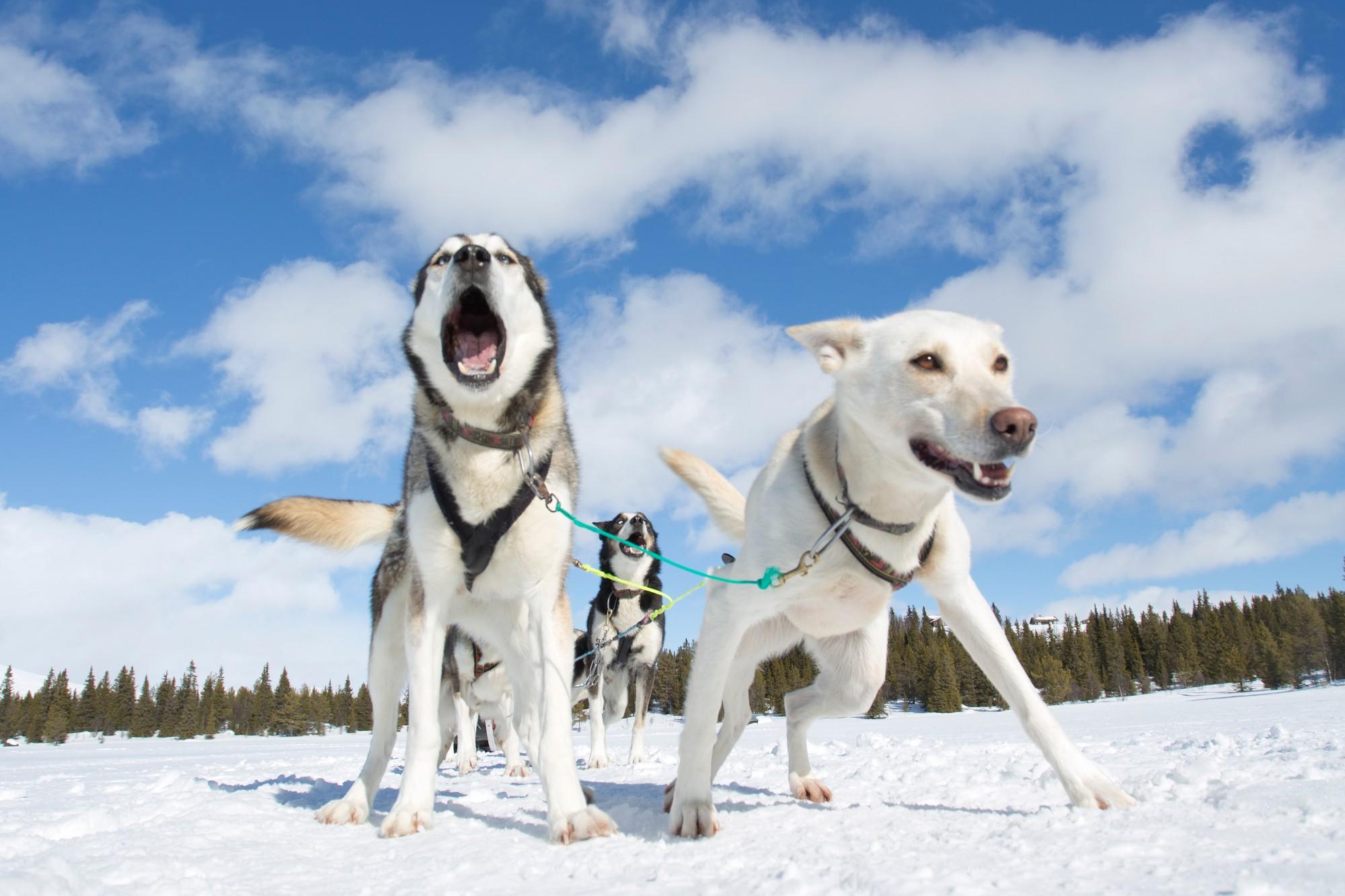 Eksklusiv vinterpakke - opplev glamping og hundekjøring